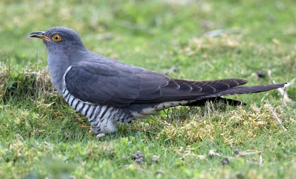 Cuckoo by stu8fish