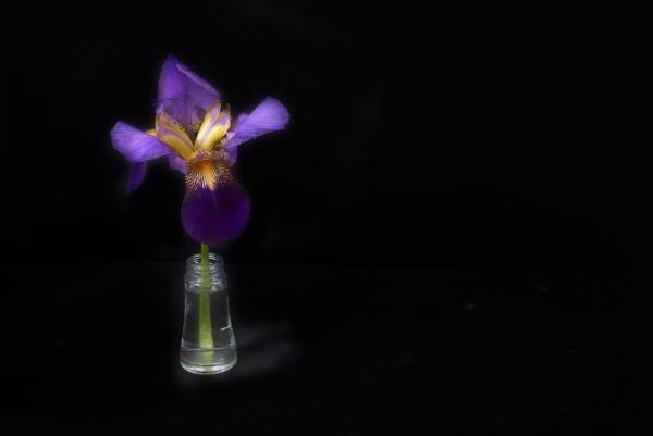 Iris by Cynog