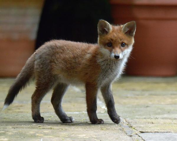 Fox cub again by Holmewood