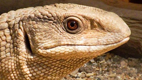 Sand Monitor Lizard by ZoeKemp