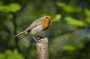 Robin by Fotomanic1