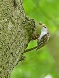 Treecreeper Feeding