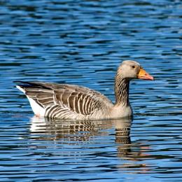 Greylag Goose - Dunecht Estate, Aberdeenshire