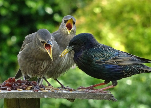 Starling and two juveniles by Chas05