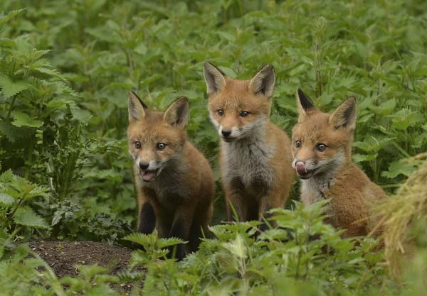 Fox Cubs by KBan