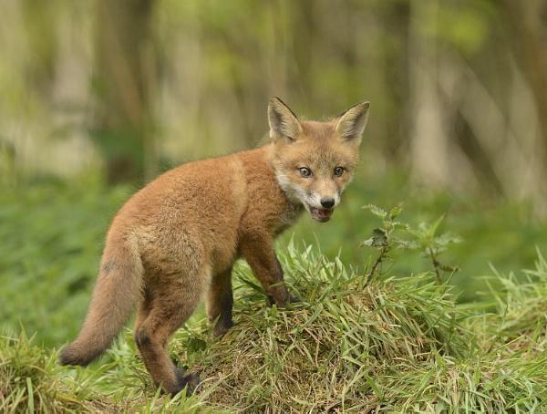 Fox Cub by KBan