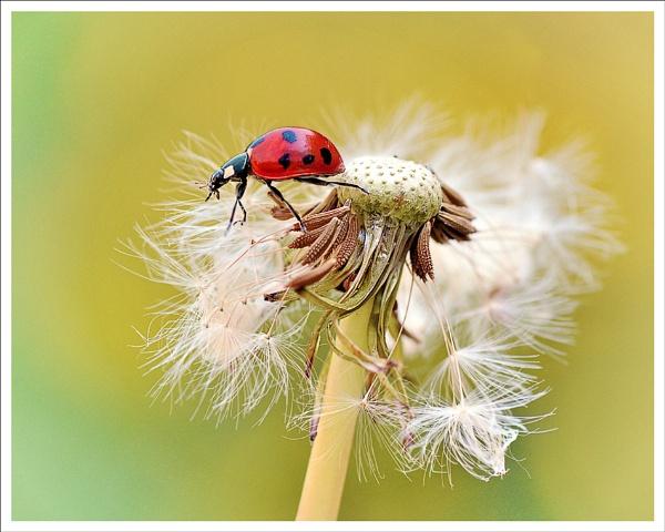 Ladybird/Dandelion. by bricurtis