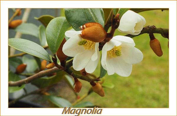 Magnolia by Mavis