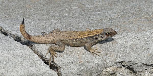 L is for Lizard by jinstone