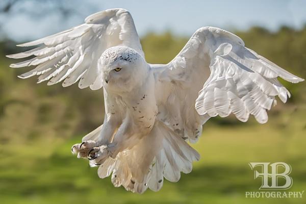 Snowy Owl by FionaB
