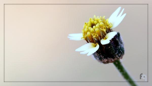 Mexican Daisy in all its glory by ferozeqasim