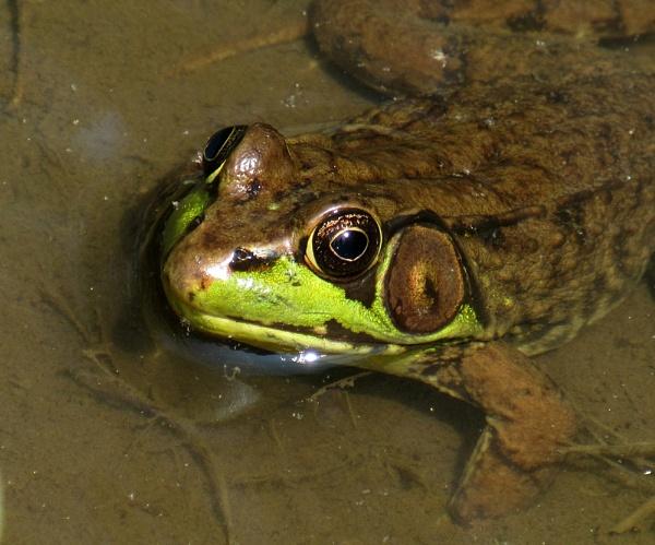 DC frog by oldgreyheron