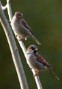 Sparrows by ColinScott