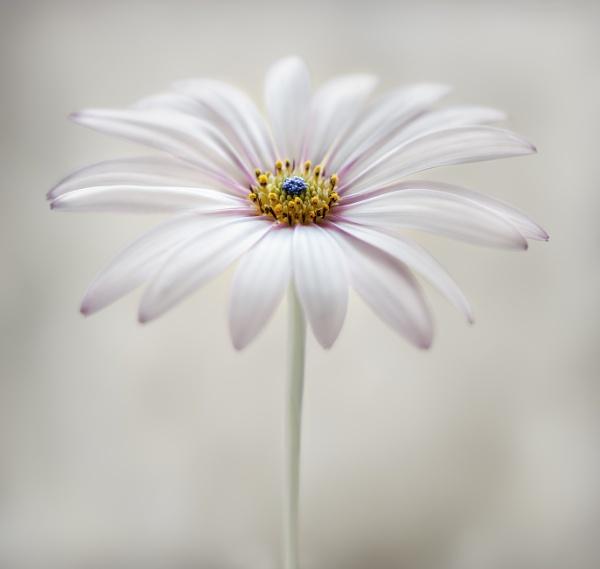Osteospermum by MandyD