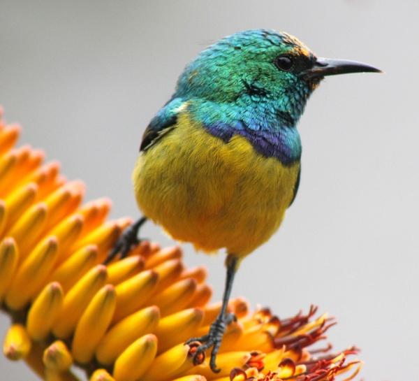 Collard Sun Bird by Annien