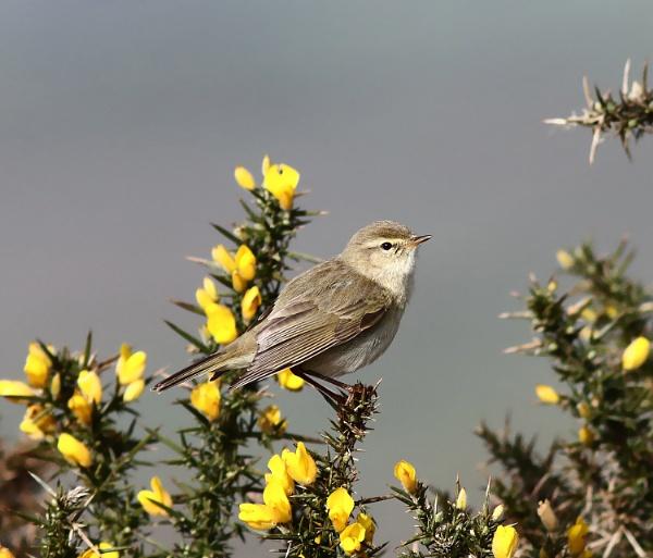 Willow Warbler by bluetitblue