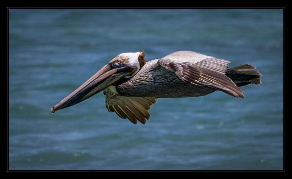 Pelican by mjparmy