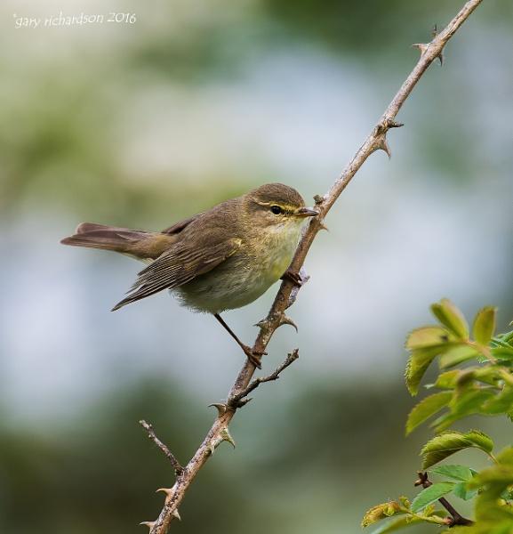 willow warbler by djgaryrichardson