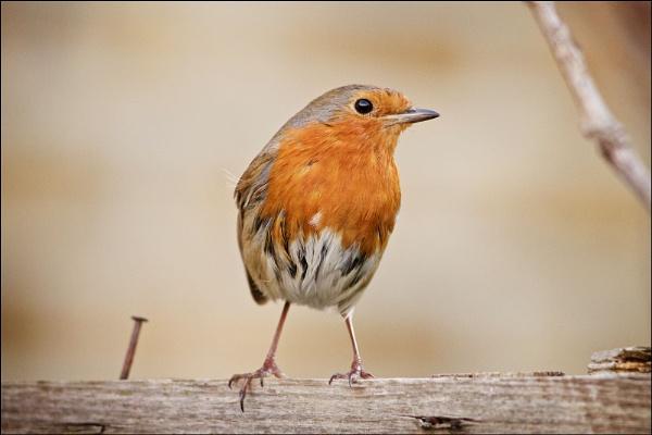 older robin by tpfkapm