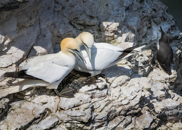 Gannets on the nest. by paulbroad