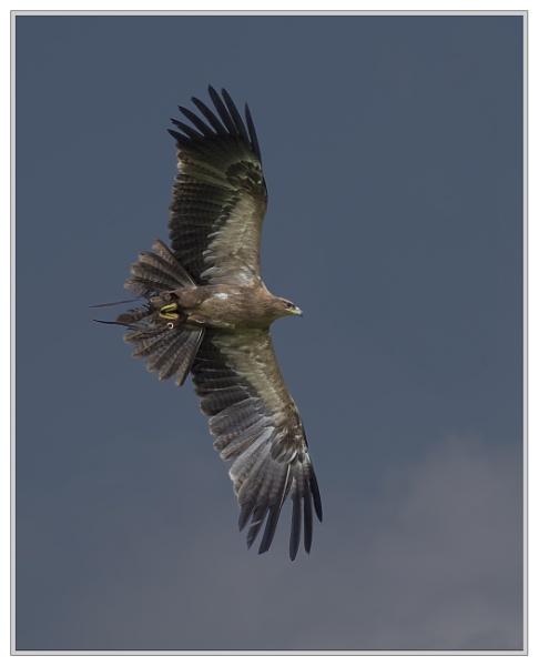 Tawny Eagle (Aquila rapax) by Cynog