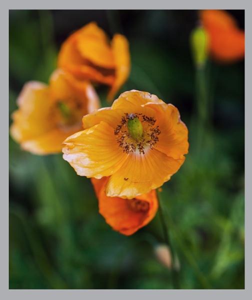 just a poppy by estonian