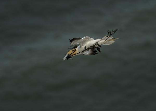 Gannet in Flight by Ghost_Studio