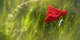 Poppy in the breeze