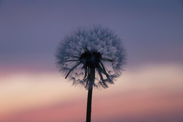 Dandelion Skies by Justine67
