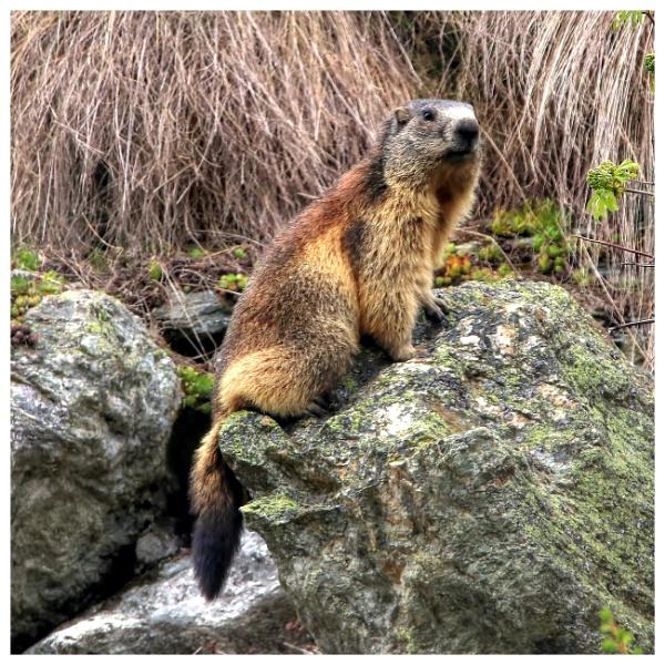 Marmot, Murmeltiere, Munggen, Mankei ... by dukes_jewel