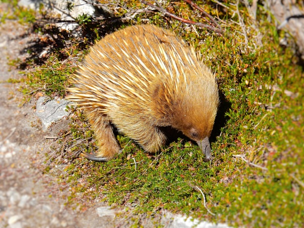 Echidna dinnertime by dales