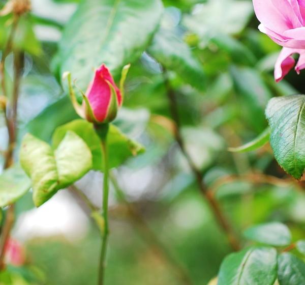 Rosebud by KrazyKA