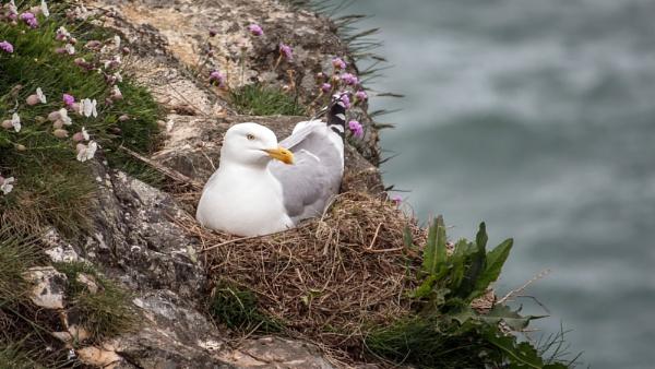 Nesting Herring Gull by Somerled7