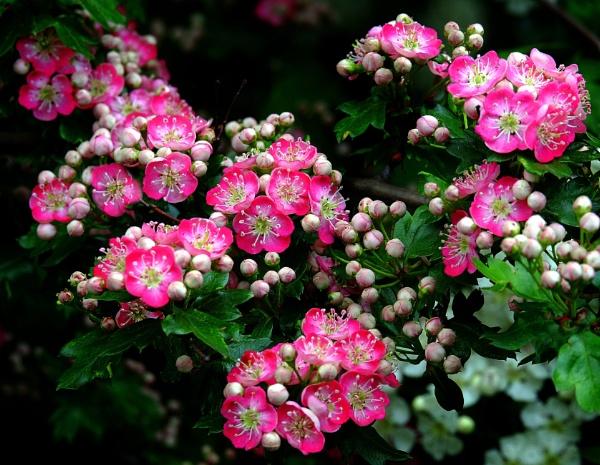 Hawthorn Blossom. by adrianedwa