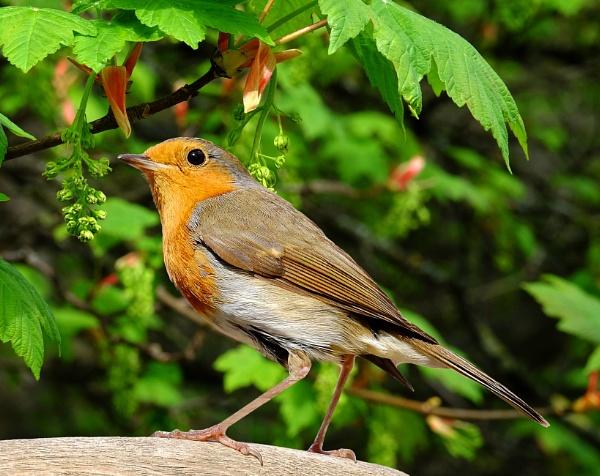 Springtime Robin. by adrianedwa