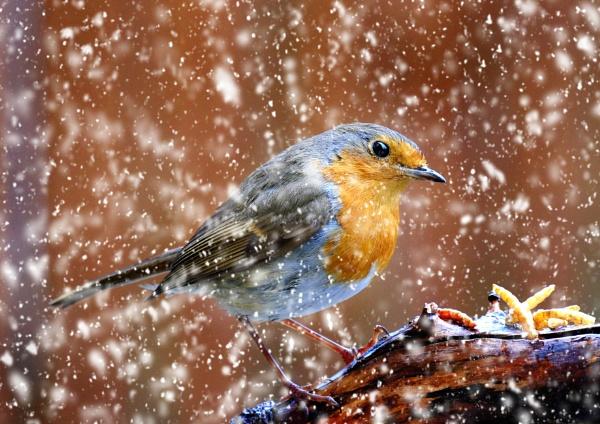 "\""April Robin\"". by adrianedwa"
