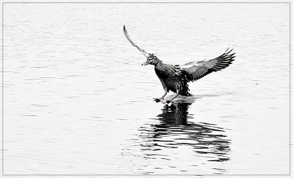Landing........... by shaz4
