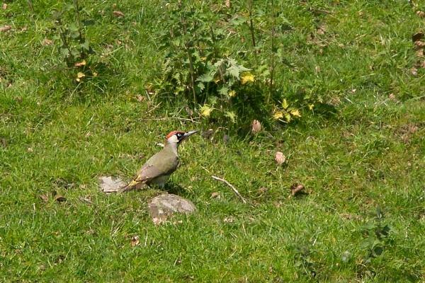 green woodpecker by STUARTHILL758