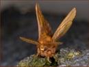 Drinker Moth by Tony_Baloni