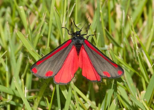 Cinnabar Moth by martin174