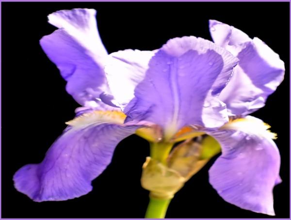 Iris by Rock