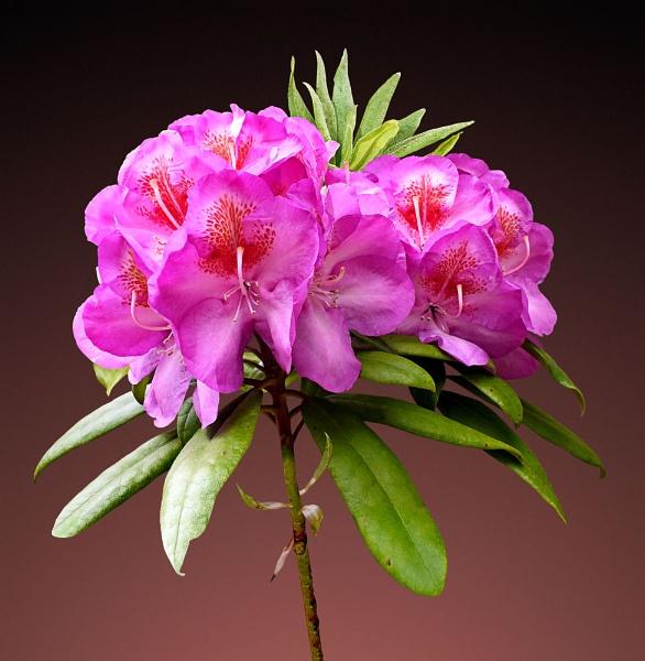 Pink Rhododendron by pamelajean