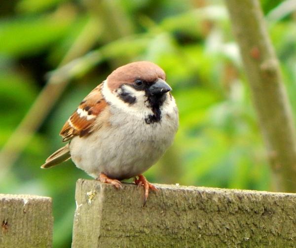 Tree Sparrow by CHIPPYX1X