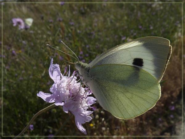 nectaring large white by CarolG