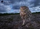 "A ""Funky"" wide angle Little Owl... by Austin_Thomas"