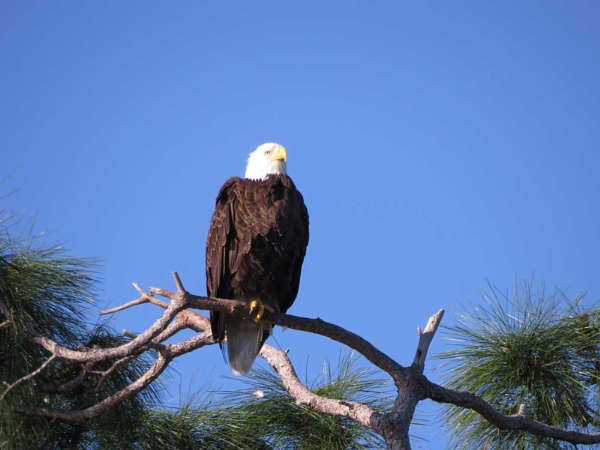 Bald headed eagle by camay