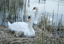 Mother and Father Mute Swan with their Cygnets at Bayfront Park