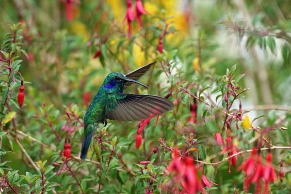 Humming Bird by Silverzone