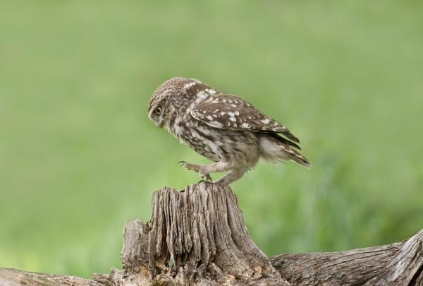 little owl by NEWMANP