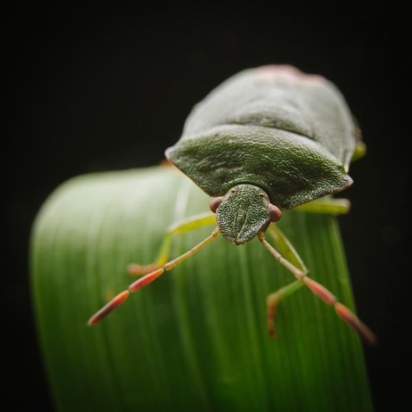 Stink bug by jackdeakin